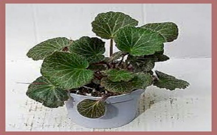 نبات الساكسفراج